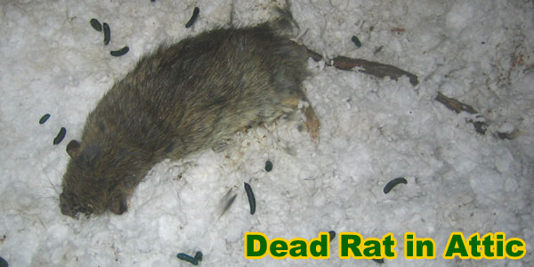 Is Rat Poison Effective Does It Make Rats Thirsty And