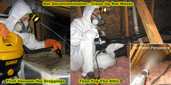 How To Clean Rat Feces And Urine