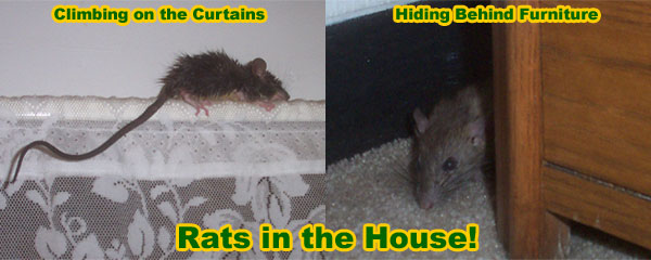 How To Get Rid Of Rats In The House