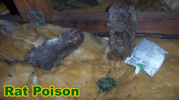 How To Kill Rats Without Poison Naturally