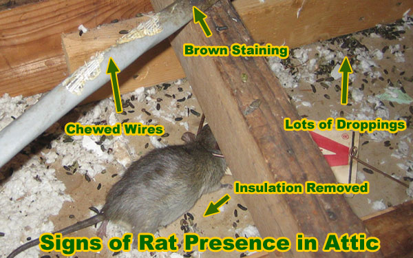 Superior How Do You Know You Have Rats? Most People Notice The Noise They Make    Scampering, Scratching, Pitter Patter Of Little Feet Running Up The Walls  Or Above ...