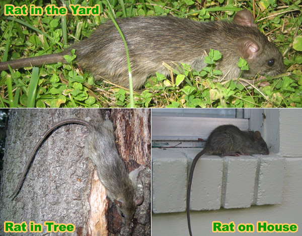 - How To Get Rid Of Rats In The Yard